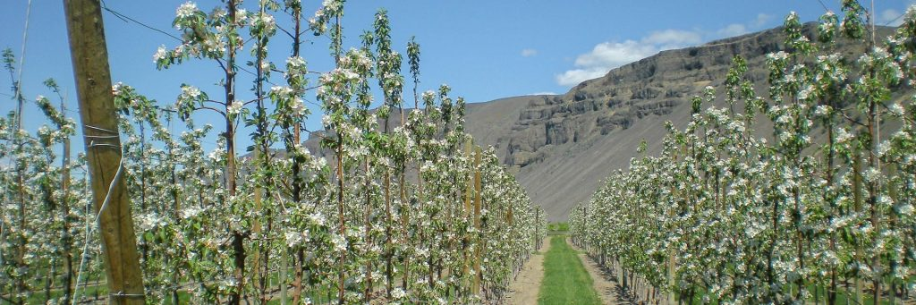 Rows of flowering fruit trees with bluffs in background.